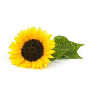 Sunflower Oil - Helianthus Annuus