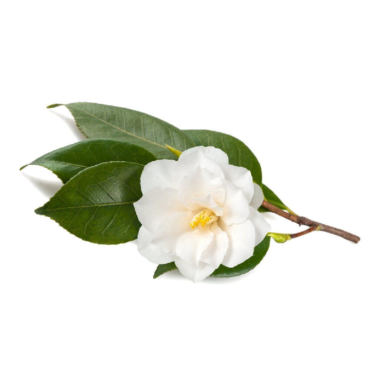 Green Tea Extract - Camellia Sinensis